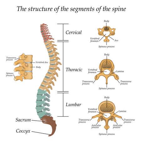 Schemat ilustracji ludzkiego kręgosłupa Ilustracje wektorowe