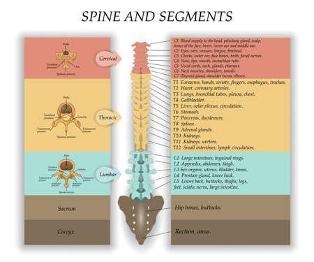 Human Spine in front diagram illustration