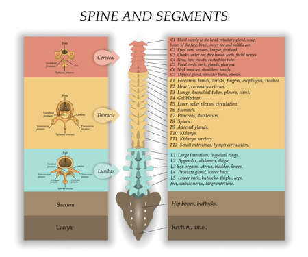 Human Spine in front diagram illustration