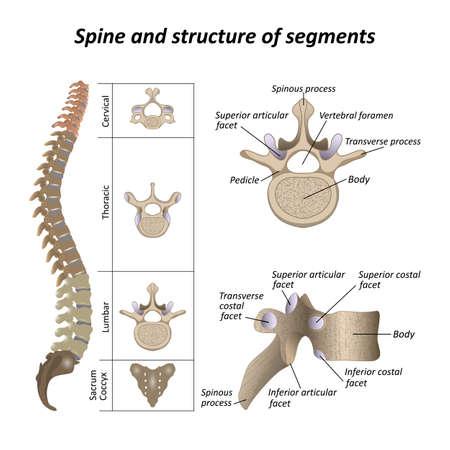 Medical diagram of a human spine illustration