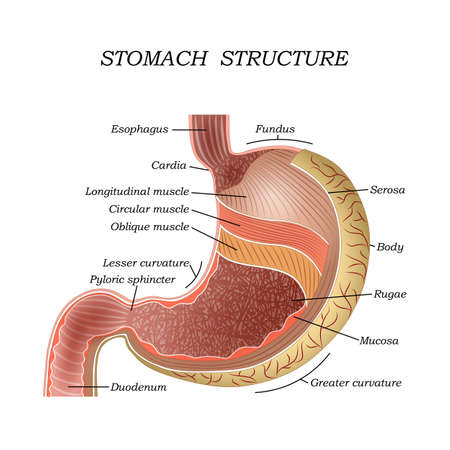 The structure of the human stomach, training medical anatomical poster for education. Vector illustration.