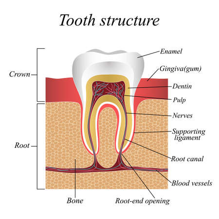 Tooth structure, training medical anatomical poster. Vector illustration. 矢量图像