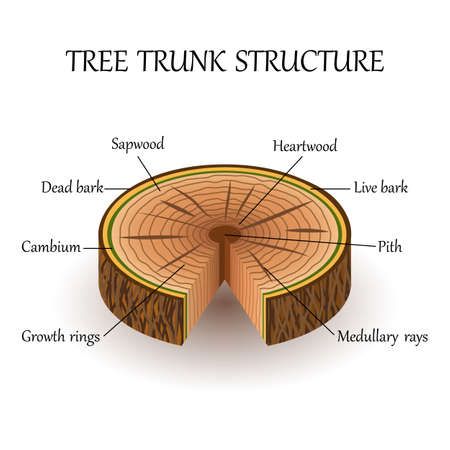 The structure of the slice of the tree layers in cross section. Education biology poster, vector illustration.