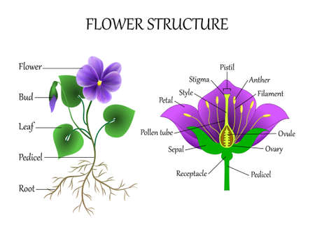 Vector education diagram of botany and biology, the structure of the flower in a section. Training banner scheme for scientific study, illustration. Çizim