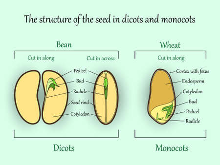 Vector education botany banner, structure monocot and dicot plant seeds in a cut sections. Agricultural biology soil and ecolody science illustration.