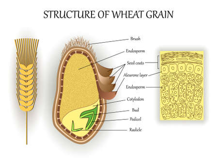 Structure of wheat seed grain, vector infographics layers of endosperm, bud, fetus, pedicel, hull anatomical poster formation. Biology and botany science banner, illustration.  イラスト・ベクター素材