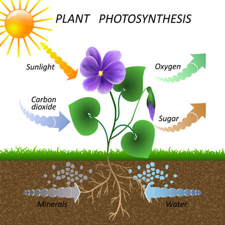Vector diagram of plant photosynthesis, science education botany poster, illustration for studying biology. 免版税图像 - 123442337