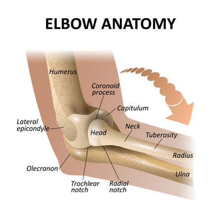 Anatomie de l'articulation du coude, formation médicale, isoler la maquette du modèle pour les affiches. Illustration vectorielle comme modèle pour les bannières. Vecteurs