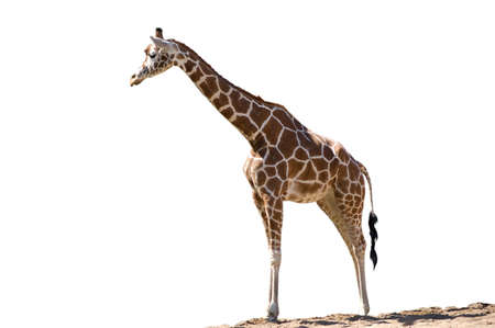 giraffe animal, animals, africa, tall, mammal photo