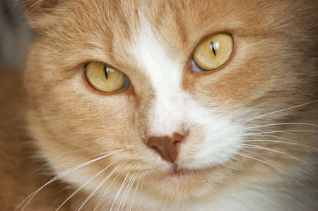 bigodes: Red cat, his face with eyes and whiskers