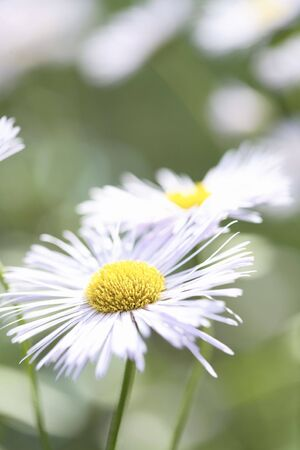 A close-up of an Aster Daisy or Aster Novi Belgii (Asteraceae) flower with white petals. Фото со стока