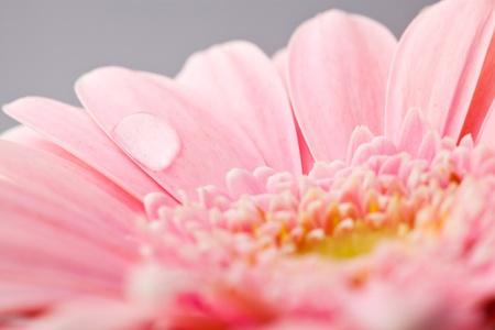Extreme close-up of gerbera flower. Macro shot in a studio.