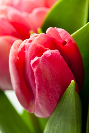 Beautiful fresh pink tulips in a vase on a white background photo