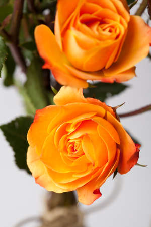 Close-up of beautiful orange roses. Studio shot. Stock Photo - 9263451