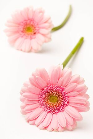 Gerbera flowers. Studio shot of beautiful fresh gerberas on a white background. Stock Photo
