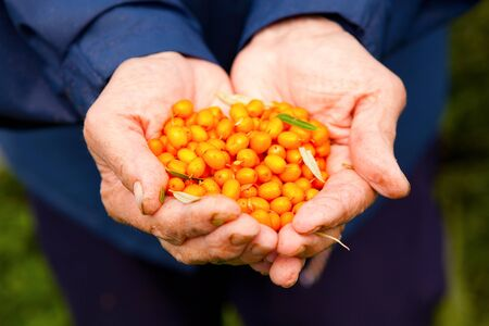 Close-up of hands holding delicious and healthy ripe sea-buckthorn berries