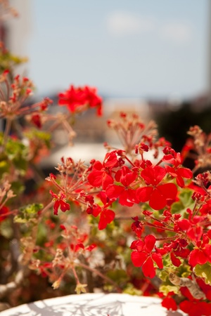 thira: Close-up of geranium flowers in Thira, Santorini, Greece Stock Photo