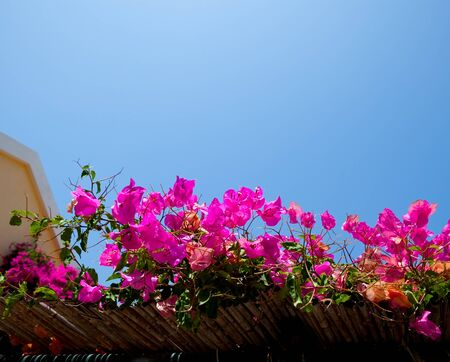 bougainvilleas: Beautiful pink bougainvilleas against blue sky in Assos, Kefalonia, Greece Stock Photo