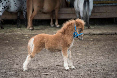 Mini dwarf horse in a pasture at a farm. foal mini horse. Stock Photo