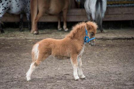 mini farm: Mini dwarf horse in a pasture at a farm. foal mini horse. Stock Photo