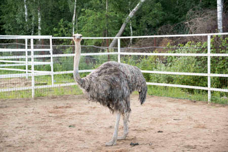 Ostrich with dry arid landscape and trees on the background