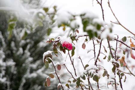 Flowers in the winter garden. Flower under snow. Stock Photo