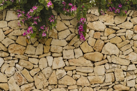 blooms: Stone wall with blooms purple Bauhinia. Blooms purple Bauhinia, orchid tree. Bauhinia flowers.  Beautiful background