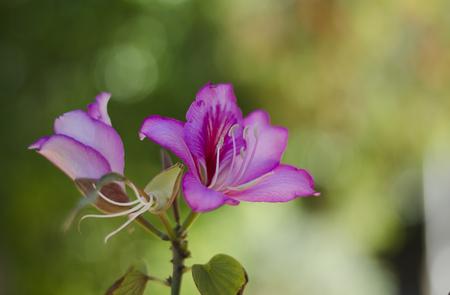 blooms: Blooms purple Bauhinia, orchid tree. Bauhinia flowers