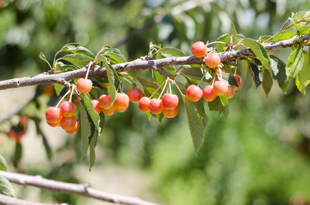 Sweet cherries on the branch. Blurred background. Cherry orchard