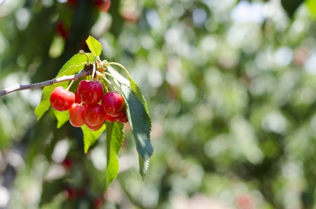 Red sweet cherries on the branch. Blurred background. Cherry orchard