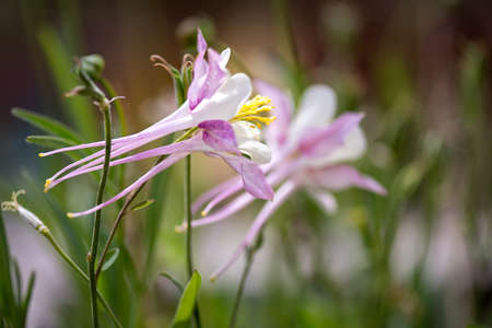 pink columbine: Pink Columbine rock mountain flower in spring