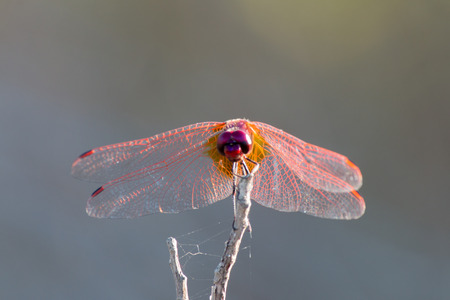 libellulidae: A RED DRAGONFLY REST