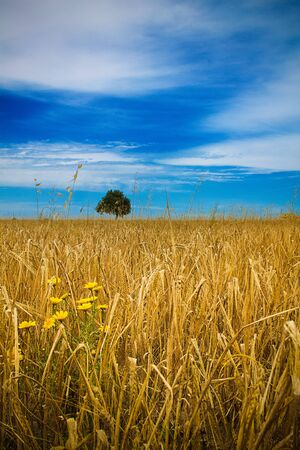 Straw field with yellow flowers in the foreground, a tree in the background, blue sky