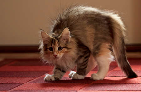 Norwegian forest cat kitten arched its back. She has an enemy somewhere 写真素材