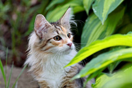 Norwegian forest cat female  kitten with alert expression between hosta leafs Zdjęcie Seryjne