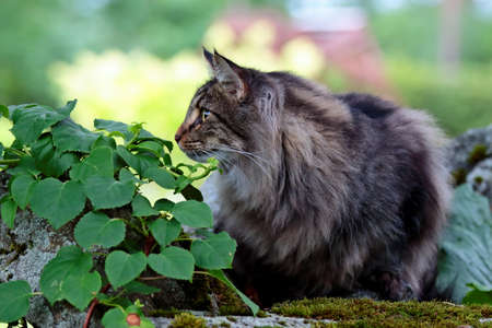 Norwegian forest cat male in a sunny evening