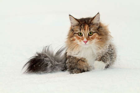 Norwegian forest cat female wading in deep snow