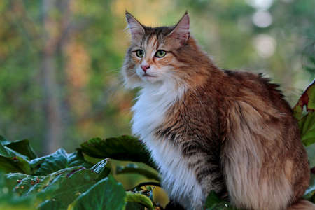 Norwegian forest cat female sitting outdoors in forest 写真素材