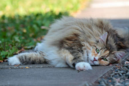 Norwegian forest cat female resting on pavement 写真素材