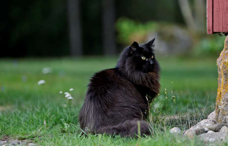 Black norwegian forest cat female sitting