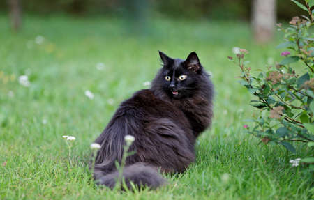 Talkative black norwegian forest cat mouth open 写真素材