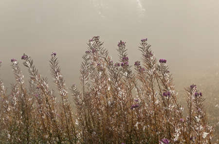 Fireweeds blooming is over and the plant is fading Stock Photo