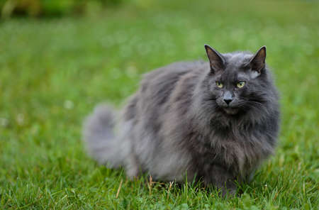 Blue norwegian forest cat standing outdoors in grass 写真素材