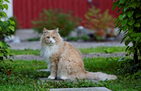 Norwegian forest cat male sitting in garden on a summer day Stockfoto