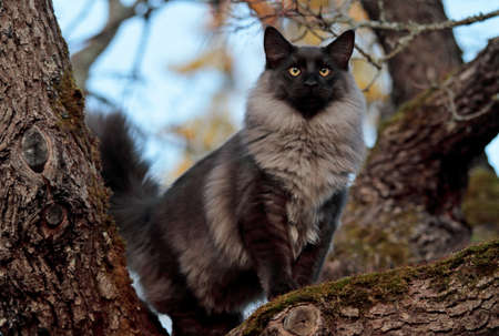 Norwegian forest cat male standing on maple tree branch. He wants to see far.