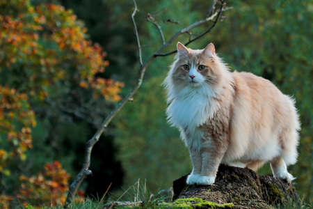 Norwegian forest cat male standing on a stump in autumnal evening light