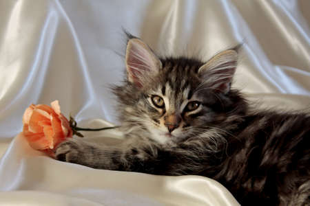 Small Norwegian forest cat male on white luxury sateen cloth with orange paper rose