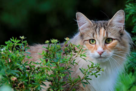 Beautiful norwegian forest cat female standing behind a small bush