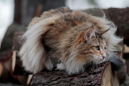 Norwegian forest cat female looking for a prey between logs in forest 写真素材