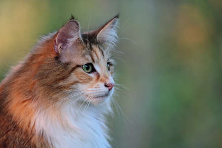 Norwegian forest cat female in the evening light 写真素材